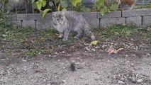 Une poule montre à un chat comment attraper une souris