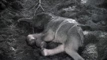 Amazing CCTV footage shows birth of baby Asian elephant
