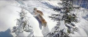 Un drone capture un moment incroyable : deux tigres en train de jouer dans la neige
