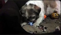 Sweet Dog steals Pacifier ( dummy ) - funny puppy shih tzu - Ши-тцу - shihtzu