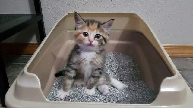 Gatinha nunca havia usado uma caixa sanitária – e vê-la descobrindo como fazê-lo é hilário!