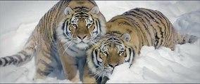 Il filme trois tigres s'amusant dans la neige avec son drone