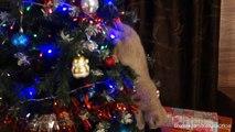 Christmas Planning- Scottish Fold Cats (Bossulica⁄ Shakira the Cat⁄ Briosica Muffin)