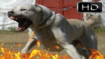 Kafkas Çoban Köpeği   kafkas saldırısı   kafkas kurt dövüşü   kangal ve kafkas çoban köpeği