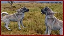 KANGAL   kangal saldırısı   kangal kurt dövüşü   kangal köpeklerin kralı   anadolu aslanı ayıboğan