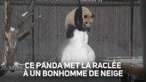 Un panda trop mignon se bat avec un bonhomme de neige !
