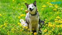 Love Huskies? These Facts Will Bring You Closer To Them