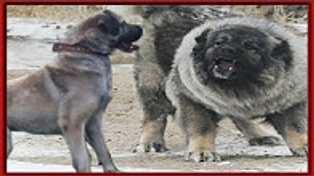 En Güçlü Köpekler ►► KAFKAS ÇOBAN KÖPEĞİ [[ Caucasian Ovcharka ]]   kurt köpek dövüşleri, kavgası