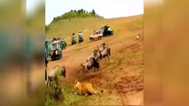 Animal Hunt   Food Chase   Lion and Lioness   Husband and wife   Trending Viral Video