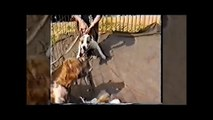 Brutal Illigal Pit-Bull Fights - STOP ANIMAL ABUSE