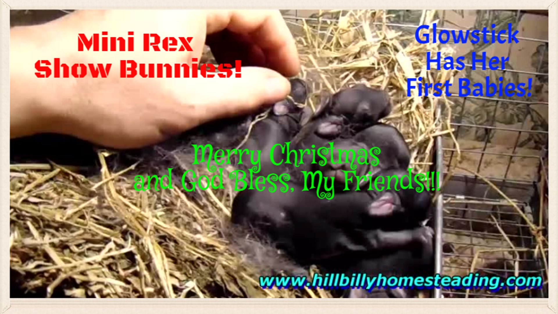 Rabbits - Mini Rex Show Bunnies Born and Merry Christmas!.mp4