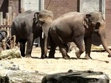 Comment se reproduisent les éléphants ?