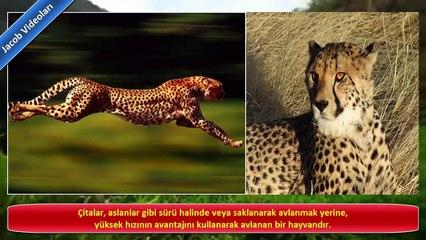 KANGAL vs ÇİTA Hakkında ! ►► çita köpek dövüşleri, kavgası ► Çita saldırıları ► Cheetah !!!