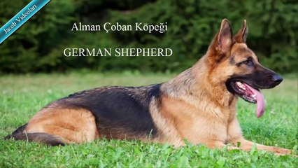 ROTTWEİLER vs GERMAN SHEPHERD About Facts ►► Rottweiler vs Alman Çoban Köpeği Hakkında ► Alman Kurdu