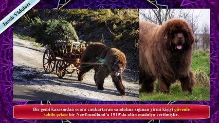 AYI GİBİ KÖPEKLER !!! ►► Aklınıza Kangal, Dogo Arjantin, Bully Kutta gelmesin ! ►► Güçlü Köpekler...