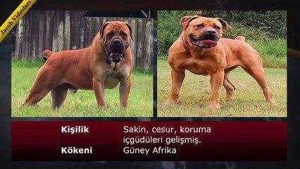 ►► Dünyanın Yasaklanmış En Tehlikeli Köpek Irkları !!! ►► Dogo Argentino, Pitbull, Presa Canario