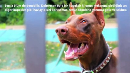 CAUCASİAN OVCHARKA vs DOBERMAN PİNSCHER About Facts ►► Kafkas Çoban Köpeği vs Doberman Hakkında !!!
