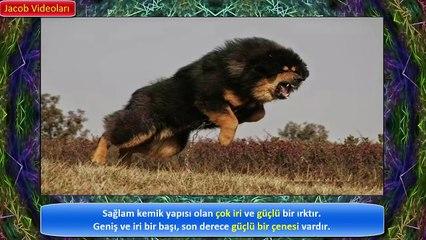 TİBET MASTİFİ vs ASLAN Hakkında !! ► Güçlü Köpekler ► Tibetan Mastiff vs Lion About ► Strongest Dogs