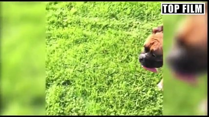 The best funny fails videos of dogs - Top Video Dogs !