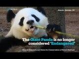 Giant Panda no longer 'Endangered'; Eastern Gorilla is