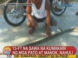 UB: 13-ft na sawa na kumakain ng mga pato at manok, nahuli sa Ilocos Norte