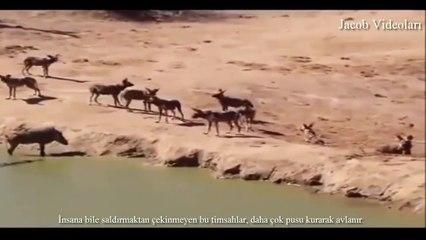 ►► Öldürmeye Programlı Canlılar   TUZLU SU TİMSAHI ► Crocodile attacks lion, elephant, antilope