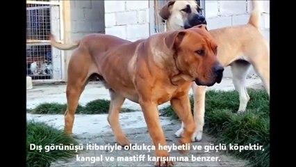 Köpek dövüşleri, köpek kavgası ve saldırıları hakkında ► kangal, pitbull, dogo arjantin, kurt, domuz