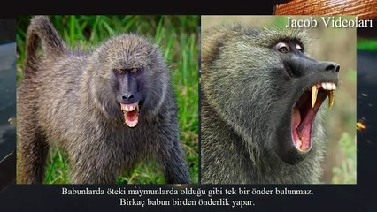 PİTBULL vs BABOON About Facts !!! ►► Baboon attacks Lion ► Pitbull Babun kavgasını kim kazanır