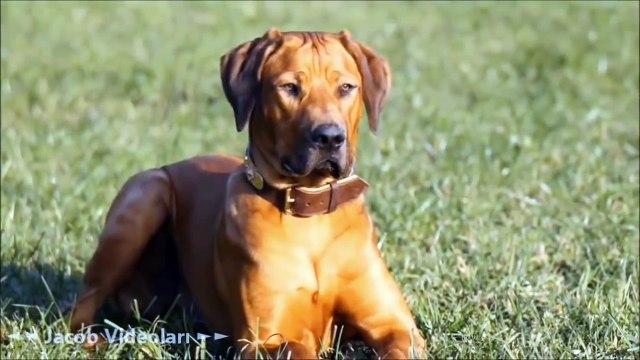 SÜPER GÜÇLER   En Güçlü Köpek Irkları ►► Kangal, Pitbull, Dogo Arjantin, Kafkas Çoban Köpeği