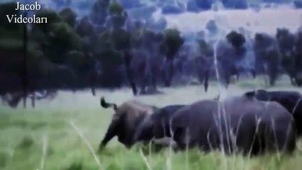 ÜSTÜNLÜK SAVAŞLARI   Gergedan Bufaloya Karşı ►► Vahşi Hayvan Dövüşleri, Ölüm Kavgaları
