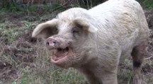 Gers : le cochon perdu d'Eauze a retrouvé son maître