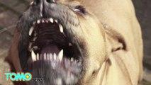 Pria menyayat anjing Pit bull karena menawaskan anjingnya - Tomonews