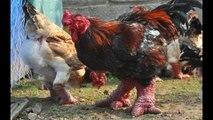 chuyên bán gà đông tảo , bán lợn bán , bán lợn rừng , bán thịt thỏ , bán thịt dê , bán vit trơi, bán giò tết