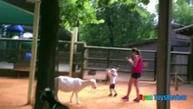 ANIMALS POOPING AT THE ZOO Kid at the ZOO Funny Family Fun Trip to Petting Farm Animals for Chil