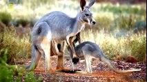 National Geographic Documentary - The Kangaroo King - Best Wildlife Documentary