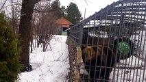 Ivre il carresse un ours et se fait défoncer ! Bravo les Russes