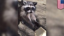 Feeding hungry raccoons: teen wins hearts online for friendship with family of raccoons