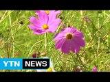 [영상] 성큼 다가온 가을...코스모스 '활짝' / YTN