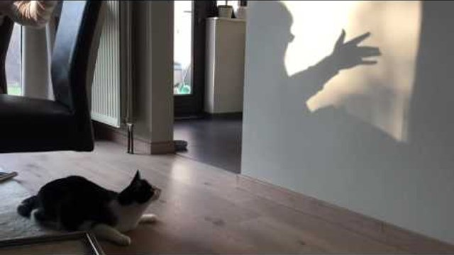 Cat Tries Chasing Shadows on a Wall