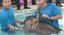 Cet éléphant amputé d'une patte réapprend à marcher dans une piscine