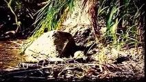 Anaconda Kill and Eat Pitbull Dog, Snake, King Cobra, Python   Predators Wild Animal Attacks