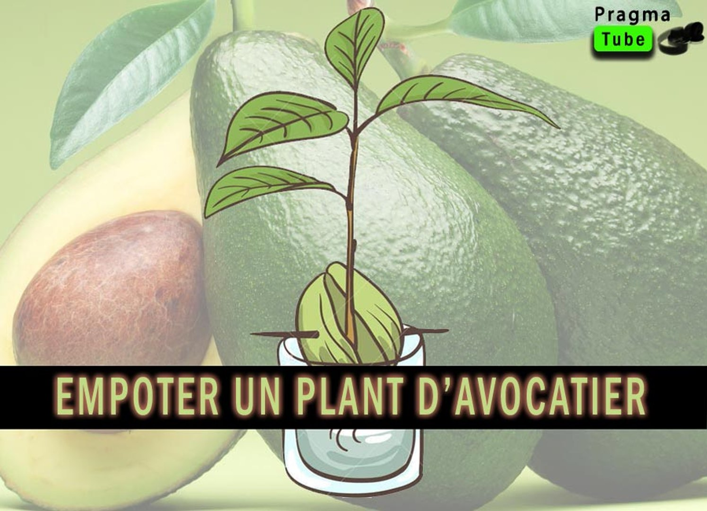 Faire Germer Noyau D Avocat comment empoter un jeune plant d'avocatier-how to plant an avocado tree