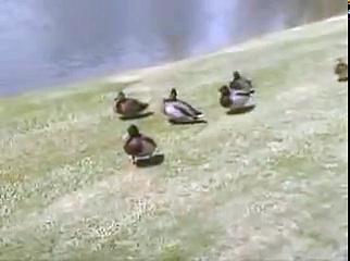 Cosby Ducks