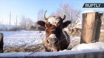 Russos abrem orfanato para vacas abandonadas