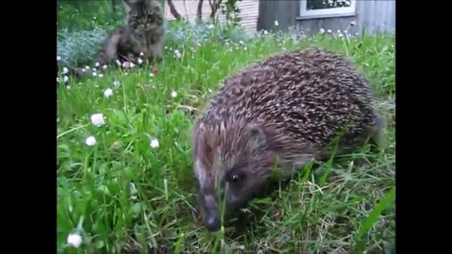 Hedgehogs! Cute animals for kids - Pets