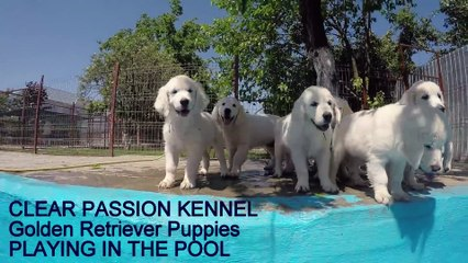 Golden Retriever pups swimming in the pool for the first time (2)