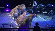 Best Tigers vs Lions Circus Ever│ Lion attack Tiger