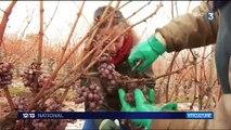 Viticulture : vendanges très tardives en Alsace