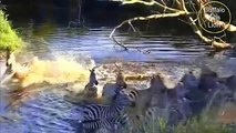 Lion vs Water Buffalo - Water buffalo Kills Lion 2016   Buffalo Kills Lion Caught On Camera