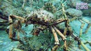 آسٹریلیا -سمندر میں لاکھوں کیکڑے جمع ہونے کا دلچسپ منظر-HplihpGI_pI